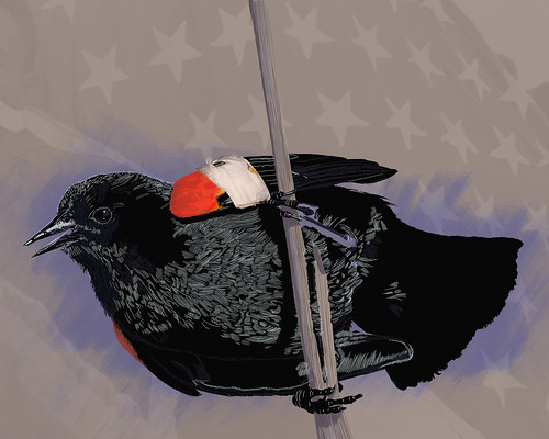 Red-winged blackbird—in progress