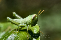 Small green cricket - 7062 (Francesco Pacienza - Getty Images Contributor) Tags: life wild green animals insects critters natures microcosmos