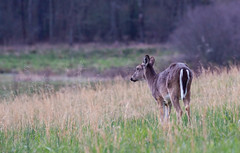 Whitetail Deer (kimpjohnston) Tags: nature spring cove tennessee wildlife deer whitetail cades