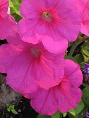 Macro Flowers (Forest Edge) Tags: flowers summer canada outdoors flora backyard nwt northwestterritories frontyard backyardgarden flowergarden outdoorgarden outdoorliving northerncanada frontyardgarden northerngardening