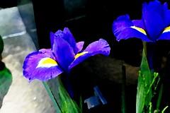 OBRAZ OLEJNY XXVIII_jnowak64 (jnowak64) Tags: poland polska krakow natura makro cracow kwiaty mik malopolska przyroda lato krakoff irysy obrazolejny cmentarzrakowice