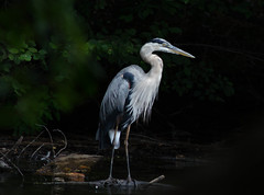 Start of the Day (Maggggie) Tags: greatblueheron bird lakepeachtree water morning avianexcellence explored