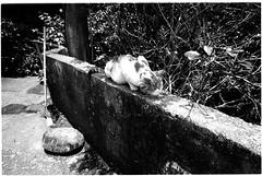 Image0031b (herchong) Tags: leica cat rangefinder m rf 貓 streetcats 正片 侯硐 fujicolor100 superangulon21mmf34 電影底片 貓村 輕便相機 sa2134 富士100彩負才對
