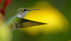 Ruby-throated Hummingbird (Windows to Nature) Tags: