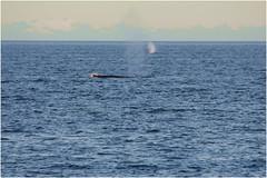 358HDRa (markbyzewski) Tags: alaska ugly humpbackwhale hdr