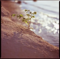 bantam precipice (furrycelt) Tags: sunlight lake 6x6 film beach nature leaves mediumformat square nc sand waves fuji natural bokeh northcarolina velvia bronica shore squareformat manual seiko sq e6 jordanlake fujivelvia fujivelvia100 bronicasqb zenzabronica 150mmf4 ps150mm epsonv600 lensblr