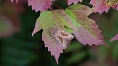 Rosy Rustic (Dr Wood's Wildlife Photos) Tags: rosyrustic hydraeciamicacea moth noctuoidea noctuelledelapommedeterre markeule kartoffelugle aardappelstengelboorder bruntstengelfly potatisstamfly varsiyökkönen 2361