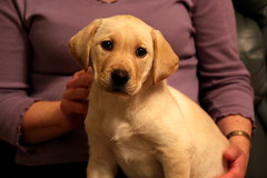 Hello there (music_man800) Tags: dog cute yellow puppy golden lab pretty labrador young ears guide pup