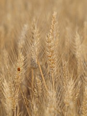 Richesse infinie **** (Titole) Tags: field barley small cereal ladybird ladybug coccinelle orge thumbwrestler friendlychallenges thechallengefactory storybookwinner titole nicolefaton