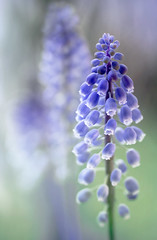 Muscari (Mandy Disher) Tags: blue muscari grapehyacinth vision:outdoor=063 vision:flower=0775 vision:sky=0672 vision:plant=0854