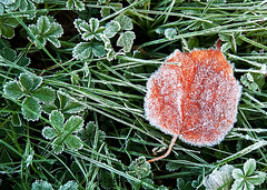 Red frozen leaf _01 (PaoloBis) Tags: winter naturaleza plant cold planta hoja ice nature grass leaves foglie walking hojas leaf nikon frost hiver natur brina natura vegetable erba getty invierno gras foglia blatt eis inverno frío freddo gel froid hielo wandern marche usine feuilles vegetal gettyimages glace herbe gemüse feuille légume pianta vegetale ghiaccio hierba helada kälte anlage d90 camminando blättern paolobis paracaminar