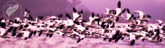 Snow Geese (jillsfotoluv) Tags: fall birds virginia wildlife location migration assateague chincoteague snowgeese