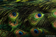 Peacock Abstract - 2469 (www.karltonhuberphotography.com) Tags: light abstract bird texture nature closeup colorful patterns details feathers peacock handheld isolation southerncalifornia sidelight 2013 sigma150500mmos nikond7000 karltonhuber