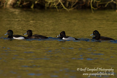 Ring-necked Duck (Aythya collaris) (gcampbellphoto) Tags: duck waterbird northernireland ringneckedduck waterfowl rarity aythyacollaris northamerican codown gcampbellphoto