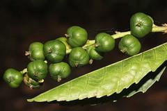 Alchornea thozetiana (andreas lambrianides) Tags: euphorbiaceae australianflora australiannativeplants arfp australianrainforests australianrainforestplants qrfp arffs australianrainforestfruits alchornea australianrainforestseeds greenarffs monsoonarf dryarf australianrainforestfruitsandseeds alchorneathozetiana thozetsholly alchorneathozetianavarthozetiana