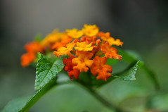 Bright and Beautiful! (peddhapati) Tags: flower nature beautiful hawaii interesting focus pretty dof depthoffield lantana tropicalflower lantanaflower nikond90 day85365 3652013 2013yip bhaskarpeddhapati 03262013