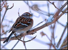 Sparrow (Taking pics, and eventually posting them!!!) Tags: winter bird canon sparrow t4i pspx4 paintshopprox4