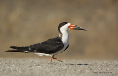 Black Skimmer (Happy Photographer) Tags: california black bird sandiego shore skimmer blackskimmer happyphotographer amyhudechek