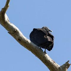 The Grinch (M.D. Photos) Tags: tree bird vulture uglymug 012414