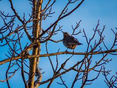 Fieldfare (Adi Berger Photo) Tags: winter iso400 blackbird 1200mm canonsx50 ppfromraw