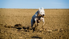 (Katarina Drezga) Tags: wild pets dogs animals perro perros dogphotography petphotography fileds dogoargentino nikond3100 nikkor55300mm4556gvr