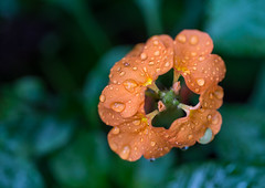 Drops (Bazzzje) Tags: orange flower macro closeup canon garden drops canonef100mmf28lisusmmacro mygearandme mygearandmepremium mygearandmebronze
