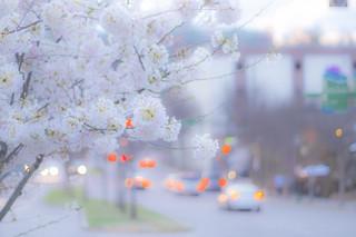 N00368 樱花烂漫的季节