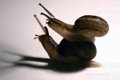 Caracoles (Etxaurren Fotografa) Tags: animal casa caracoles cscara
