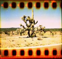 Wickenburg (K e v i n) Tags: holga holga120n superheadz35mmadapter agfa400 widelens05x 35mm film sprockets sprocketholes epsonv500 scan arizona az desert wickenburg joshuatree saguaro cactus cacti southwest fence sonorandesert