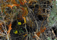 Buttercups in Sage (Pictoscribe) Tags: grant brush sage co wa shrub habitat bonzai steppe twists silvered pictoscribe