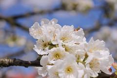 Trześniowa biel. (Gean whiteness.) (§ ßΘΘ⊂нє⊂к) Tags: wild tree bird fruit cherry spring sad cheery sweet biel whiteness wiosna kwiat drzewo wiśnia ptasia gean czereśnia owocowe trześnia