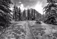 Resigned (Tracey Rennie) Tags: bowlake alberta banffnationalpark snowshoetrail winter snow cold bw trail trees mountain toocoldtoputupmytripod