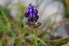 A bee on a muscari (n.pantazis) Tags: closeup flower bee insect pollination pollinator spring nature natural vouliagmeni attiki attica pentaxks2 tamron