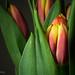 58/365 - Tulip (J Zachary) Tags: