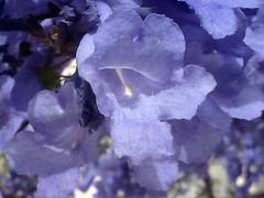 Destello de Felicidad (mayavilla) Tags: destello felicidad instante momento disfrutar morado jacaranda primavera spring flower arbol paseo purple myfavoritecolor