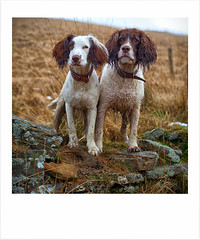 The photograph! (Explored) (Missy Jussy) Tags: rupert rupertbear mollie molliemunch pets dogs portrait dogportrait englishspringer springerspaniel spaniel animals outdoor outside countryside piethornevalley rochdale lancashire northwest england canon canon5dmarkll 50mm canon50mm drystonewalls hillside