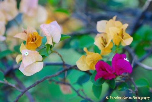 Hybrid Bougainvillea, Paper Flower, Veranera, El Salvador