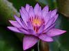 Gouttelettes ! (*PYROS*) Tags: fleurs flore nénuphar gouttelettes pluie rosée nature floraison