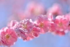 pink garlands (snowshoe hare*) Tags: dsc0755 flower flowers plumblossoms japaneseapricot pink dazaifutenmangushrine 太宰府天満宮 梅