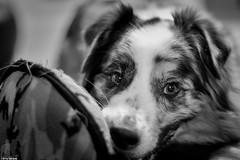 The toy changes, but the offer stands (Jasper's Human) Tags: aussie australianshepherd