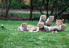 Vijf jonge Cheethas + moeder (ditmaliepaard) Tags: cheetahs moeder safariparkbeeksebergen hilvarenbeek a6000 sony foto glasop grote afstrand doorsmerigglas opgroteafstand
