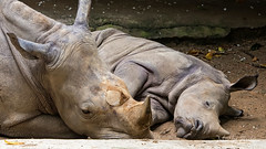 White Rhinoceros -5663 (Matty 8o) Tags: singapore outdoor outdoors vacation holiday travel travelling 2016 canon canon700d 700d lens dslr photography photos canon70200mm beautiful 70200 70200mm singaporezoo animals animal african lion white rhino rhinoceros whiterhinoceros asian elephant elephants asianelephant africanlion zoo