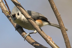Tufted Titmouse 4-12-2017-11 (Scott Alan McClurg) Tags: animalia aves bbicolor baeolophus chordata neoaves neognathae neornithes paridae passeri passerida passeriformes animal bird bokeh flickrbirds forest life nature naturephotography perch perching portrait songbird spring suburbs titmouse tree tufted tuftedtitmouse wild wildlife yard