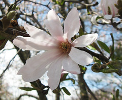 """Star Magnolia"" by My Lovely Wife (Puzzler4879 Thanks for 5M Views!!) Tags: flowers magnolias starmagnolias magnoliastellata bbg brooklynbotanicgarden a580 canona580 powershota580 canonpowershota580 powershot canonpowershot canonphotography canonpointandshoot pointandshoot canonaseries"