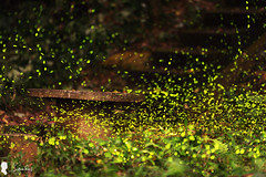 2017-04-18 螢火蟲 Fireflies (Steven Weng) Tags: firefly canon eos ef135 taiwan taipei 台灣 台北 南港 螢火蟲 eos5d2 135mm ef135f2