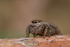 Evarcha sp., femelle aux aguets (Averan) (G. Pottier) Tags: evarcha saltique salticidae jumpingspider araignéesauteuse spider araignée nikonnaturephotography d500