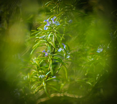 Rosemary (Catherine North) Tags: rosemary plant herb green flowers blue spring sprig twig branch scent culinary macro closeup bokeh