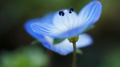 Soucoupe volante ;-) (passionpapillon) Tags: macro fleur flower bokeh bleu blu perse de véronique passionpapillon 2017 nature