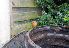 Robin 14.4.2017 (1) (bebopalieuday) Tags: bird robin redbreast compostbin garden