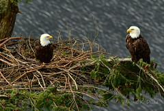 ND5_0292 2017 Pair (Wayne Duke 76) Tags: matingpair eagles raptors nest oceanview sticksandgrass breeding